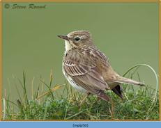 meadow-pipit-50.jpg
