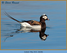 long-tailed-duck-38.jpg