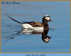 long-tailed-duck-38.jpg