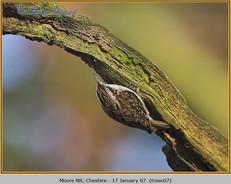 treecreeper-07.jpg
