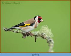 goldfinch-73.jpg