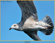 lesser-black-backed-gull-142.jpg