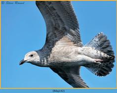 lesser-black-backed-gull-142.jpg