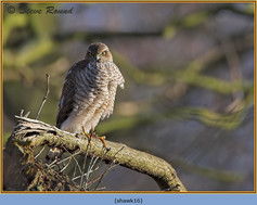 sparrowhawk-16.jpg