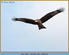 black-kite-10.jpg