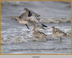 bar-tailed-godwit-02.jpg