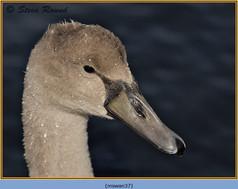 mute-swan-37.jpg