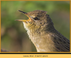 grasshopper-warbler-12.jpg