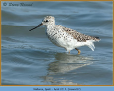 marsh-sandpiper-17.jpg