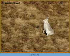 mountain-hare-16.jpg