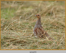 grey-partridge-04.jpg
