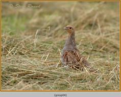 grey-partridge-04.jpg