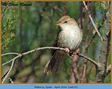 cettis-warbler-19.jpg