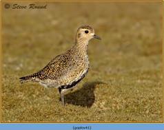golden-plover-41.jpg