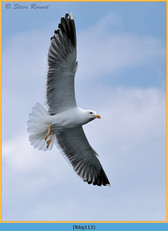 lesser-black-backed-gull-112.jpg