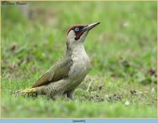 green-woodpecker-43.jpg