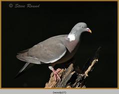wood-pigeon-27.jpg