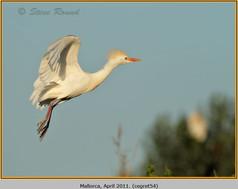 cattle-egret-54.jpg