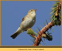 willow-warbler-14.jpg