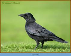 carrion-crow-35.jpg