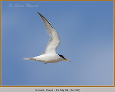 little-tern-03.jpg