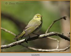 wood-warbler-40.jpg