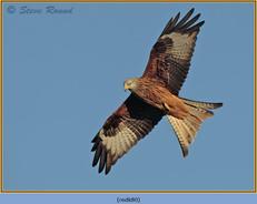 red-kite-80.jpg
