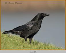 carrion-crow-29.jpg
