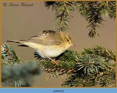 willow-warbler-52.jpg
