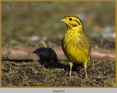 yellowhammer-41.jpg