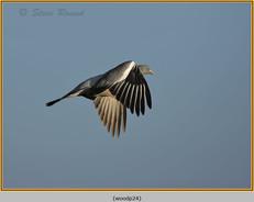 wood-pigeon-24.jpg