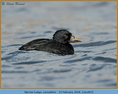 common-scoter-07.jpg