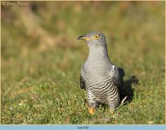 cuckoo-114.jpg