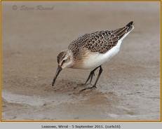 curlew-sandpiper-16.jpg