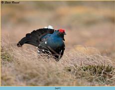 black-grouse- 97.jpg