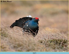 black-grouse- 97.jpg