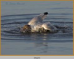black-headed-gull-22.jpg