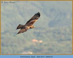 black-kite-19.jpg