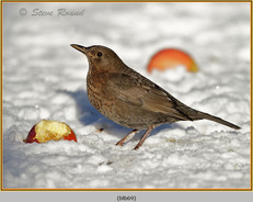 blackbird-69.jpg