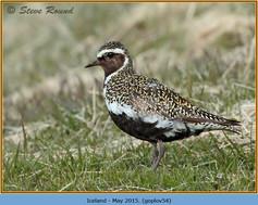golden-plover-54.jpg