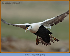 eider-duck- 93.jpg