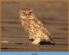 little-owl-34.jpg
