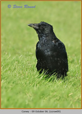 carrion-crow-09.jpg