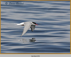 arctic-tern-33.jpg