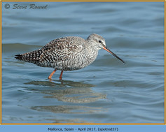 spotted-redshank-37.jpg