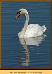 mute-swan-02.jpg