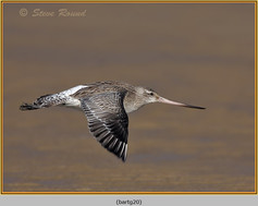 bar-tailed-godwit-20.jpg