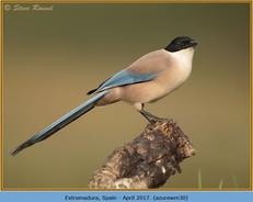 azure-winged-magpie-30.jpg