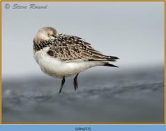sanderling-53.jpg