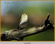 wood-warbler-36.jpg